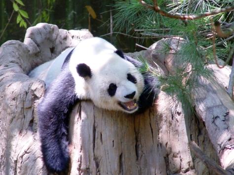 panda-bear-1393519-640x480